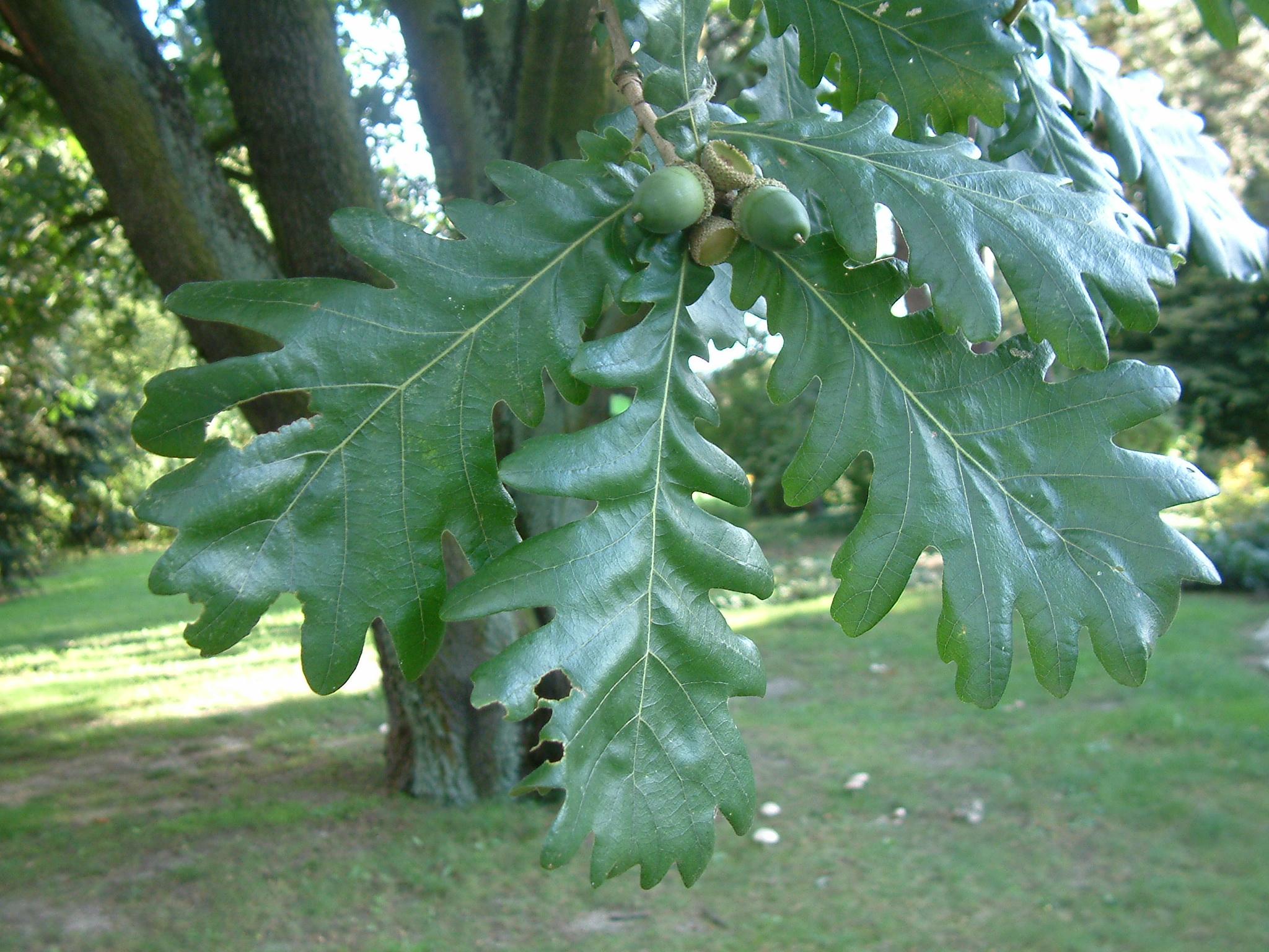Листья деревьев дуб картинки