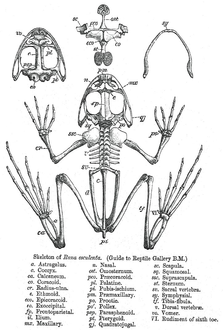 Скелет съедобной лягушки