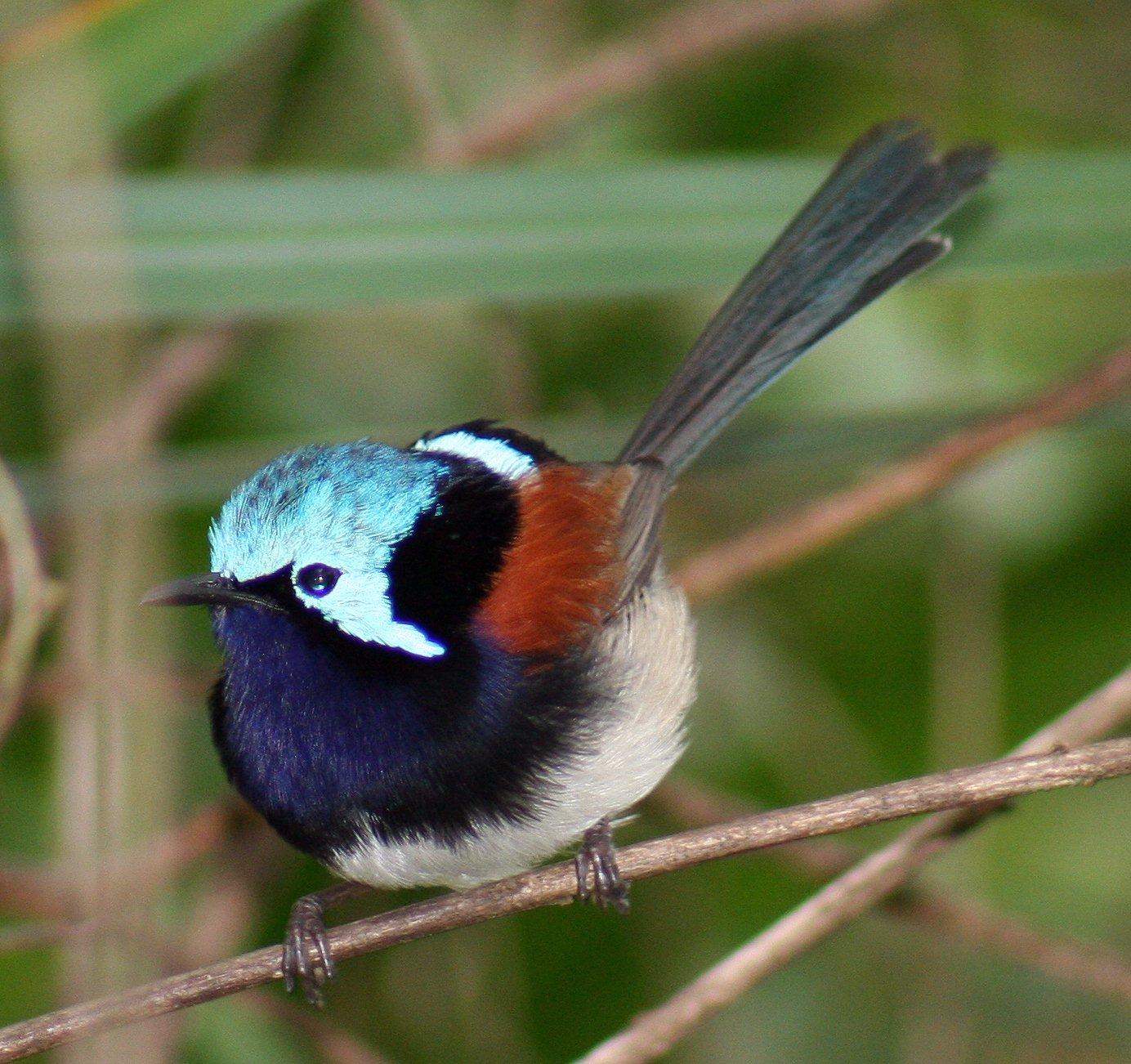 Крикливая кустарниковая птица