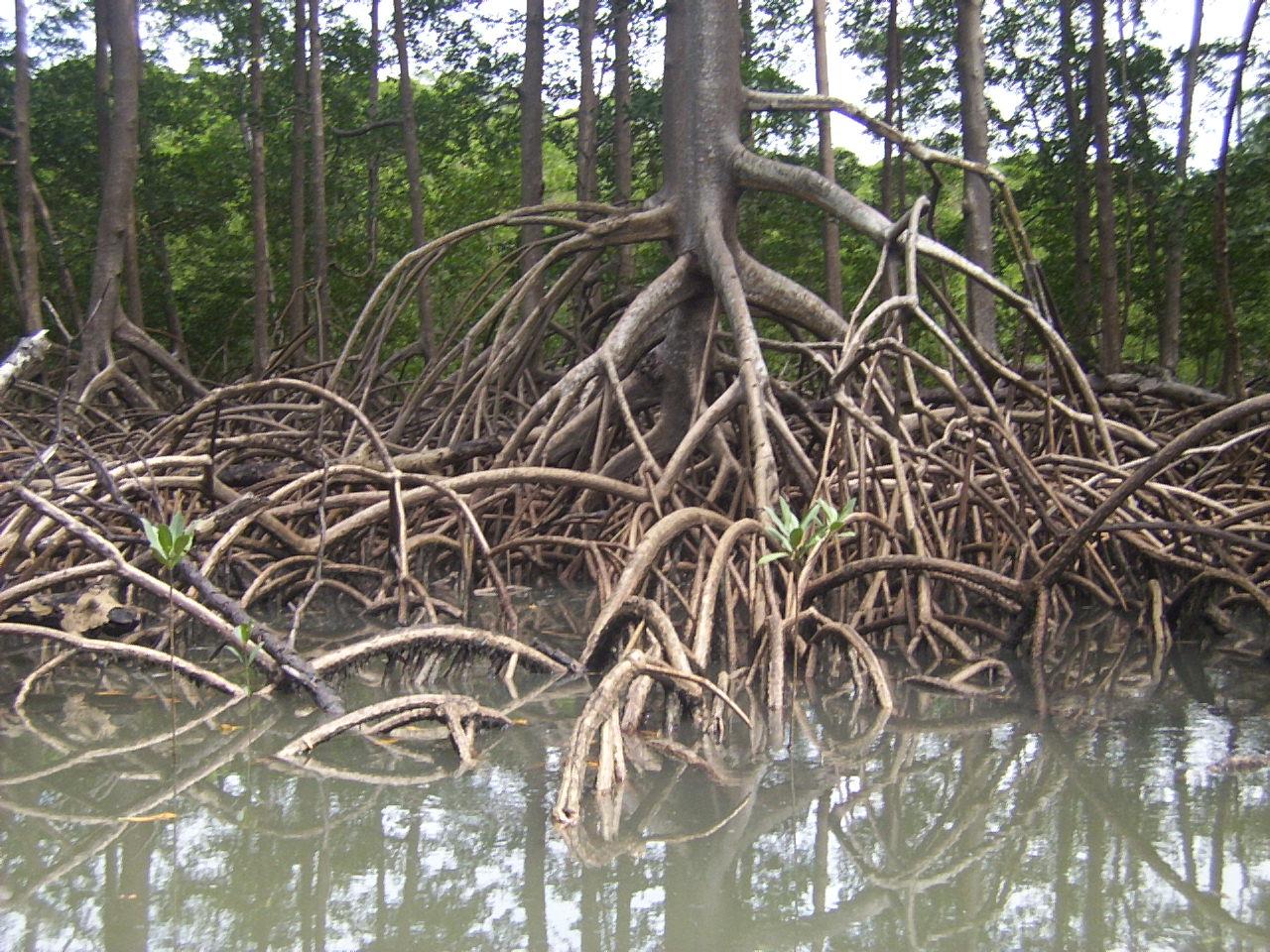 Мангровый палюдариум - Страница 2 Roots_by_cesarpb