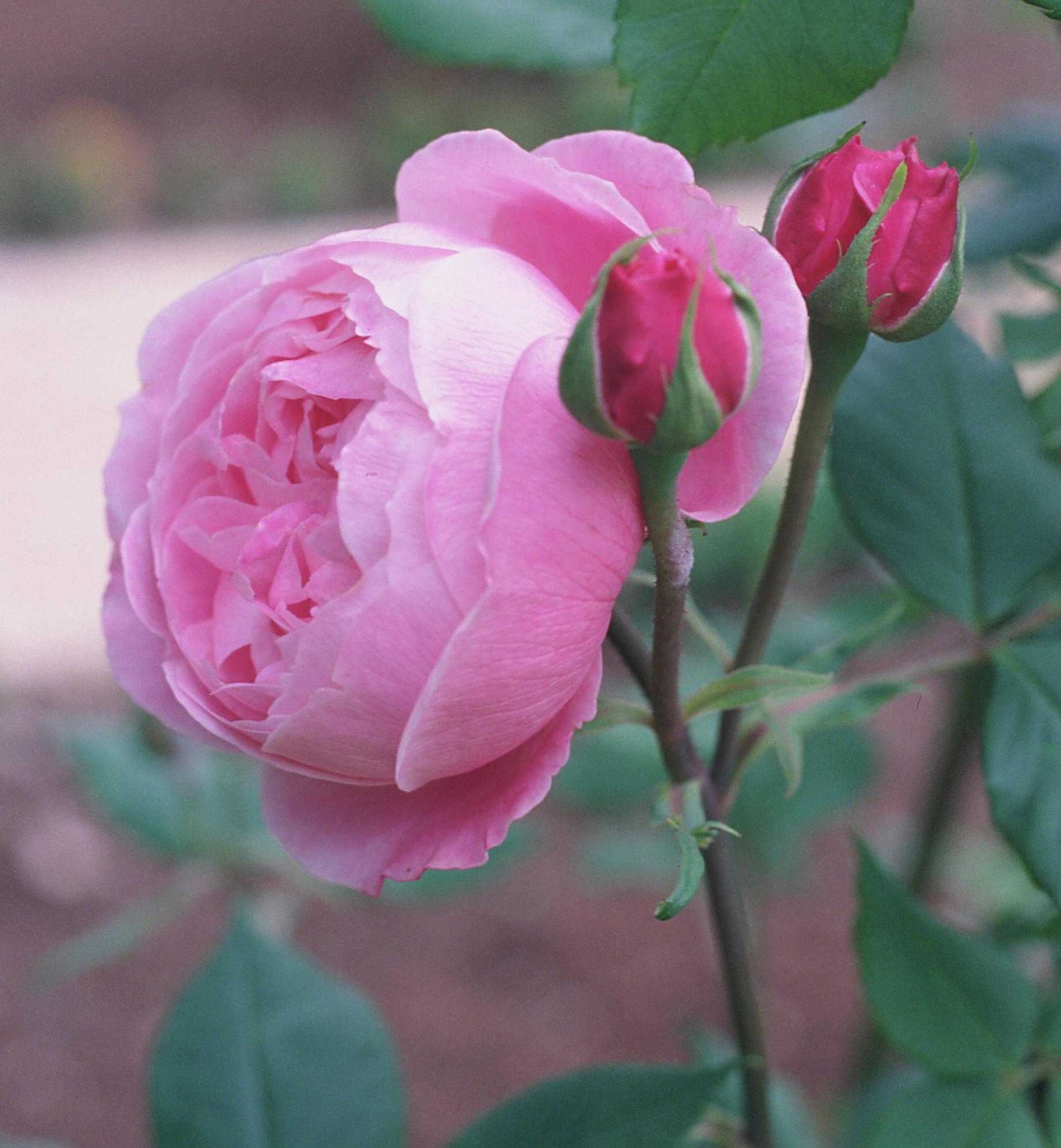 Роза плетистая виктория 2