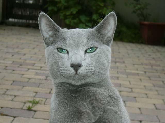 русский голубой кот фото википедия цена