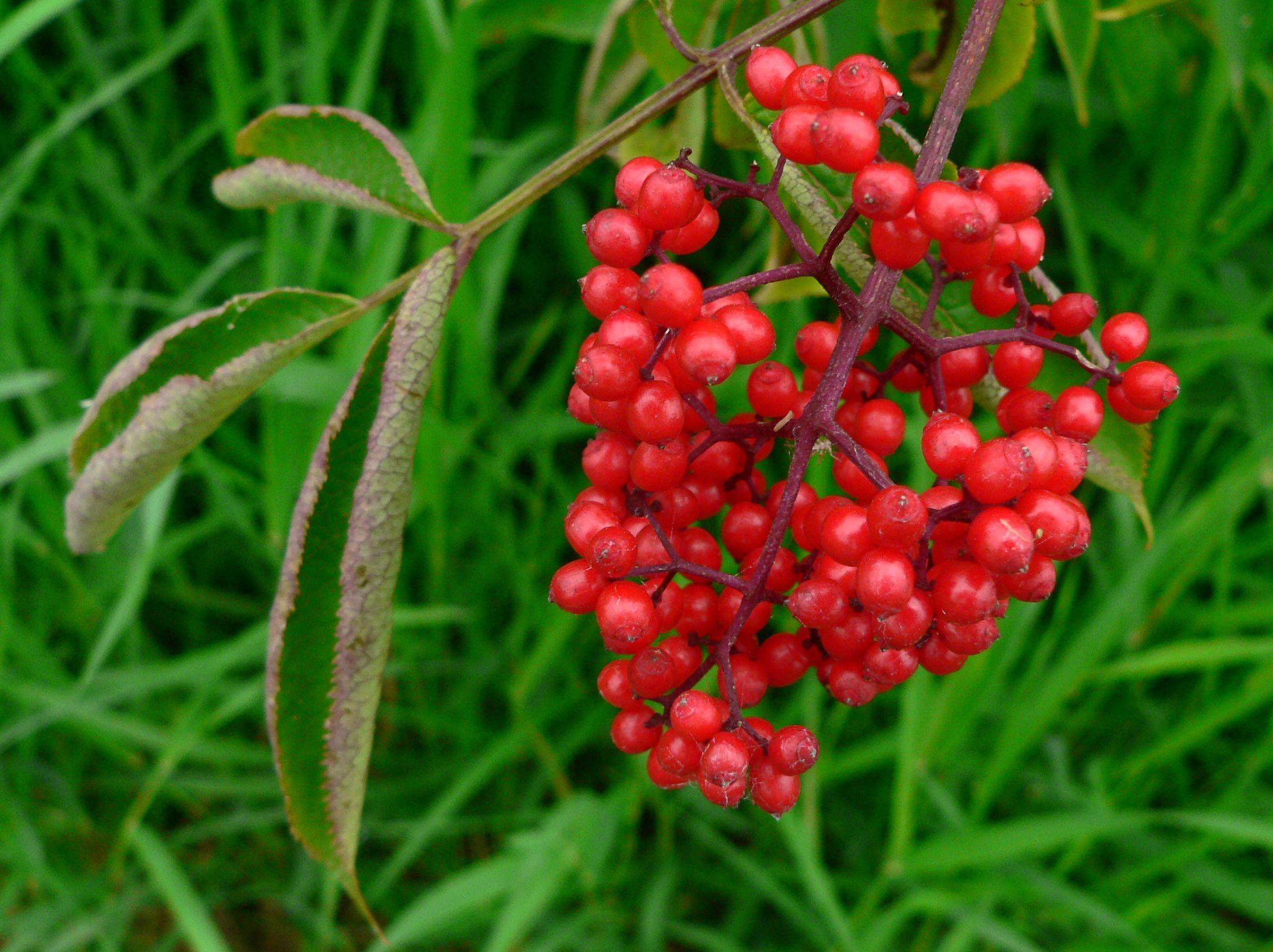 ягода крушина фото