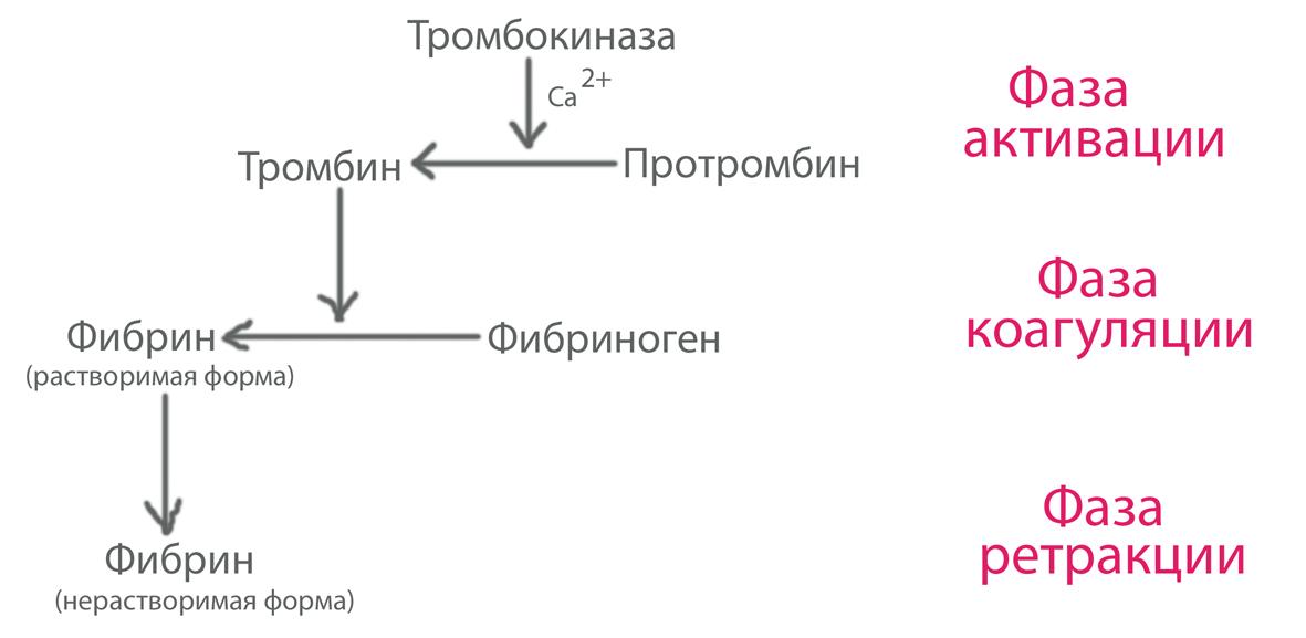 Процесс свёртывания крови