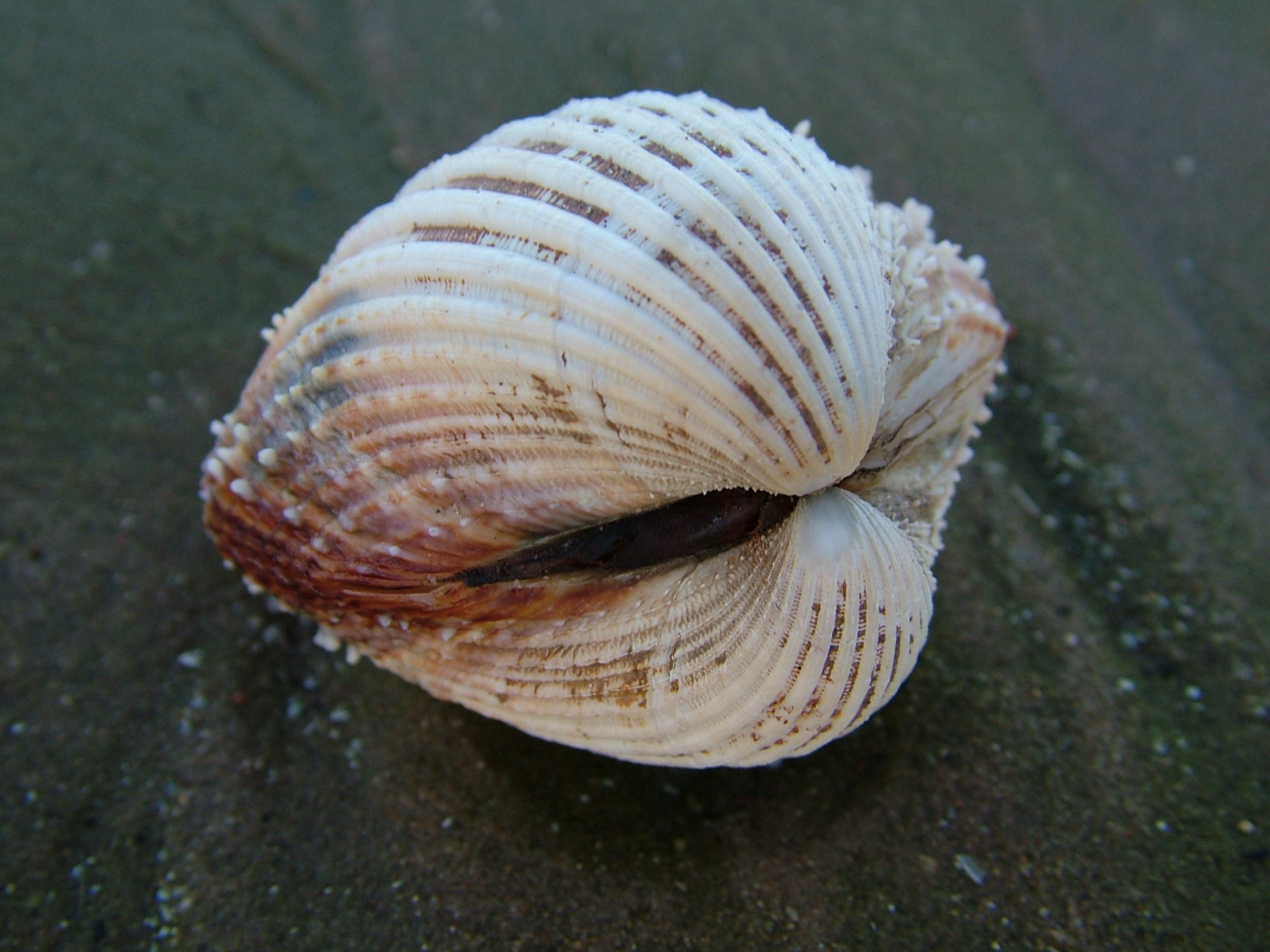 сами двустворчатый моллюск картинка пловцы имеют