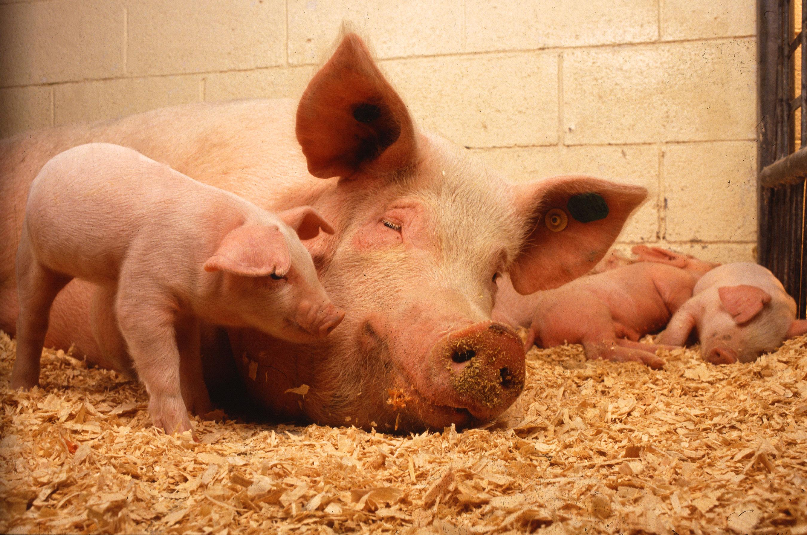 Изображения древнегреческих свиней
