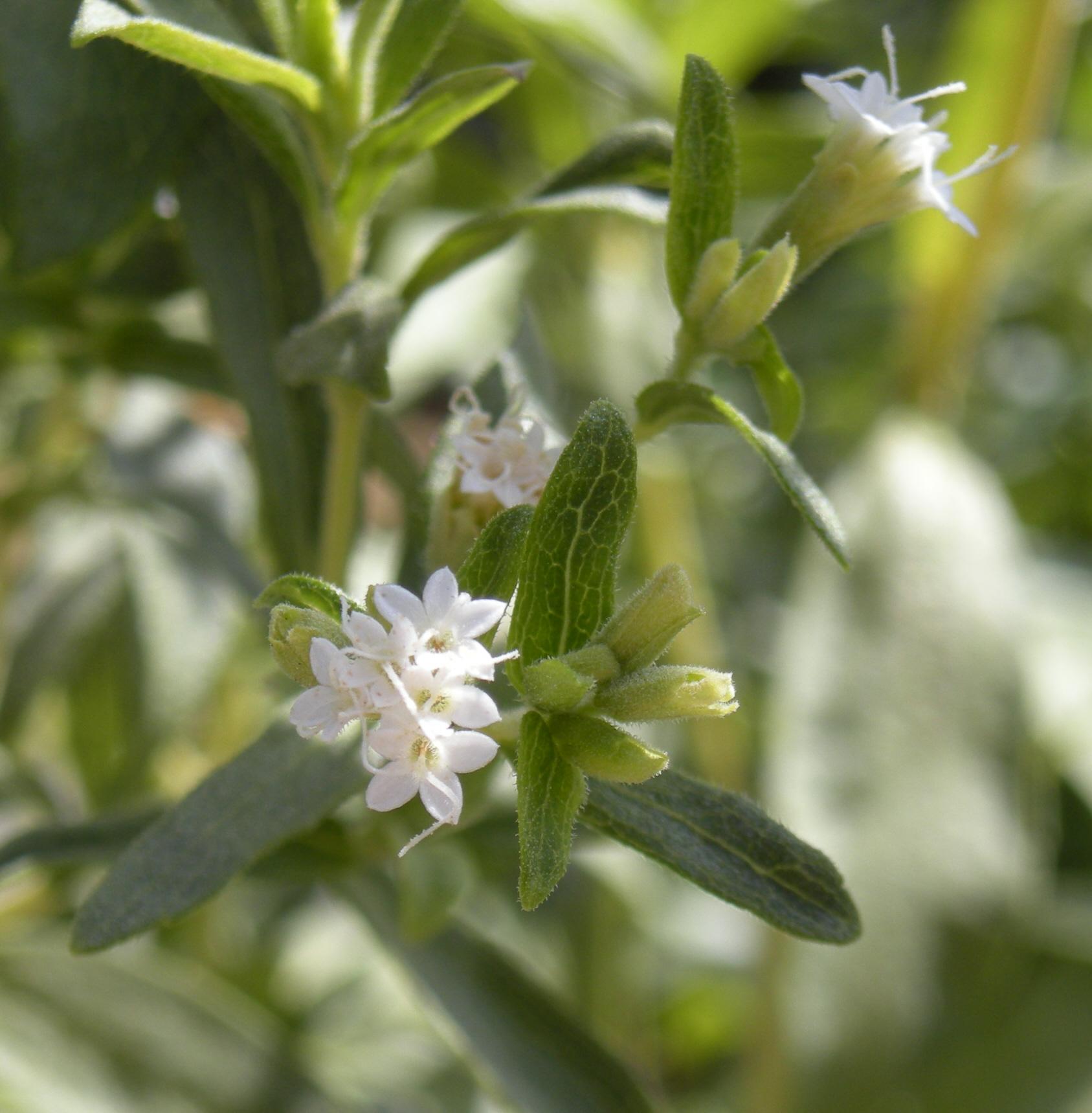 160x160 необычные растения stevia nebesnoe info