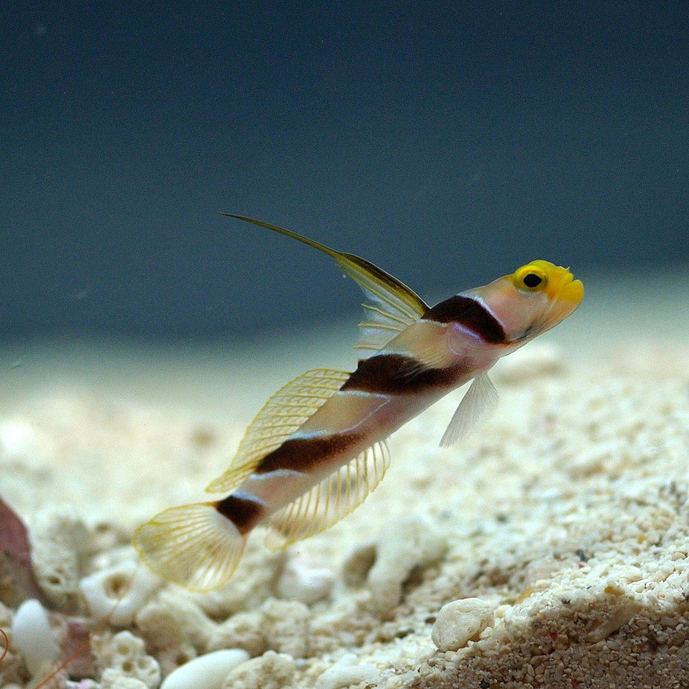 Нитепёрый краснополосый бычок (Stonogobiops nematodes)