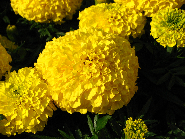 Купить рассаду цветов: тагетес (бархатцы)