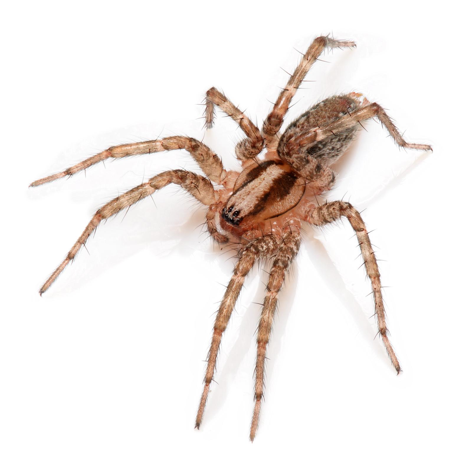 Домовой паук это Что такое Домовой паук
