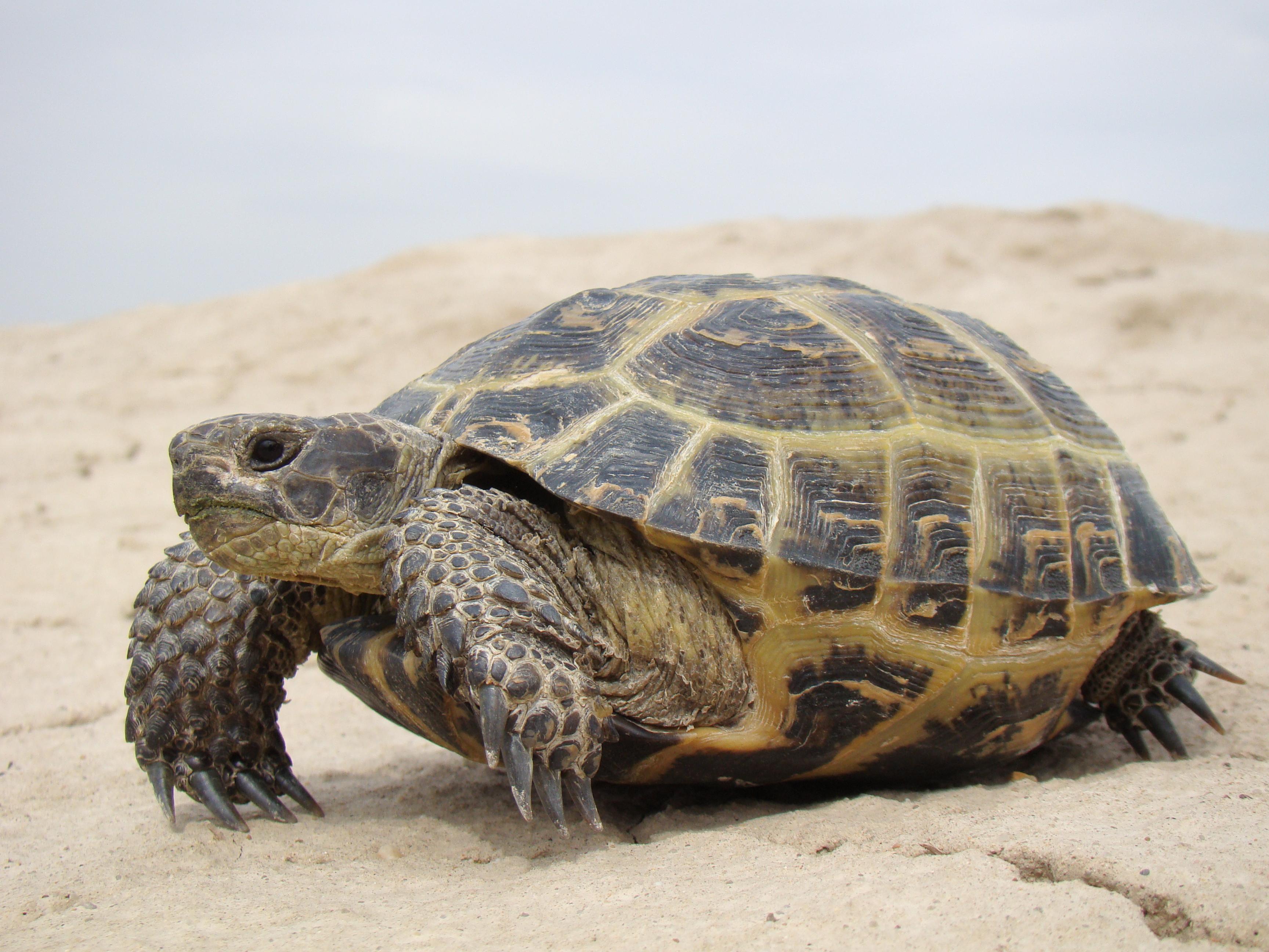 Сухопутная черепаха чем кормить - 3e18c