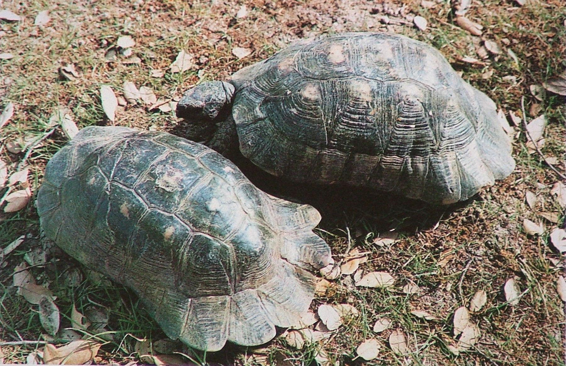 Сухопутная черепаха чем кормить - acf3c