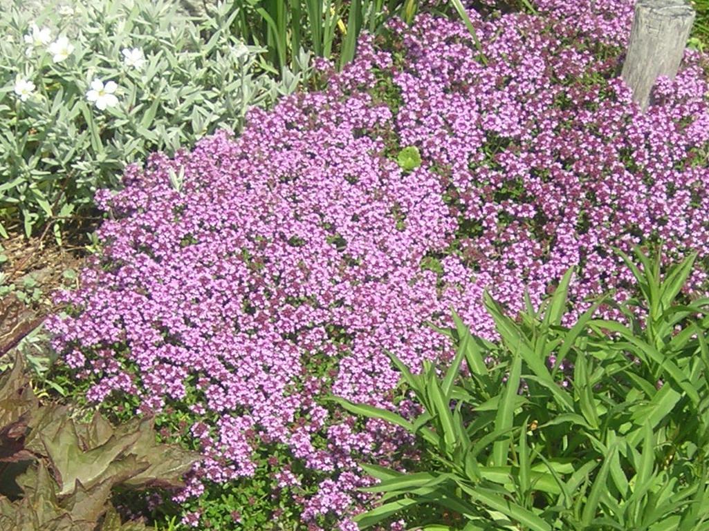 Чабрец — когда собирать и как сушить растение для лечебных и кулинарных целей
