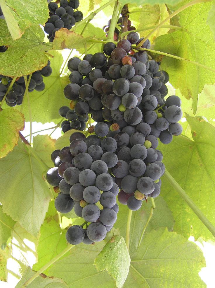 сорта винограда черного фото