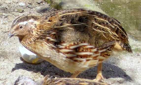 Типично перелетная птица.  Зимует в южных странах, на.