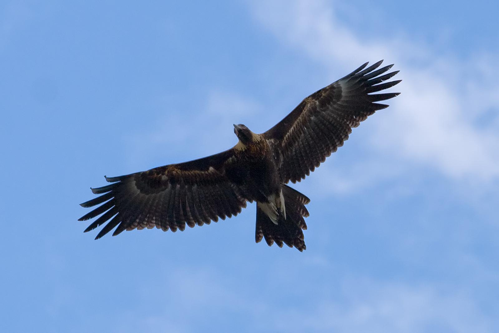 Оказавшись в автомобиле, орел врезался в голову водителя.