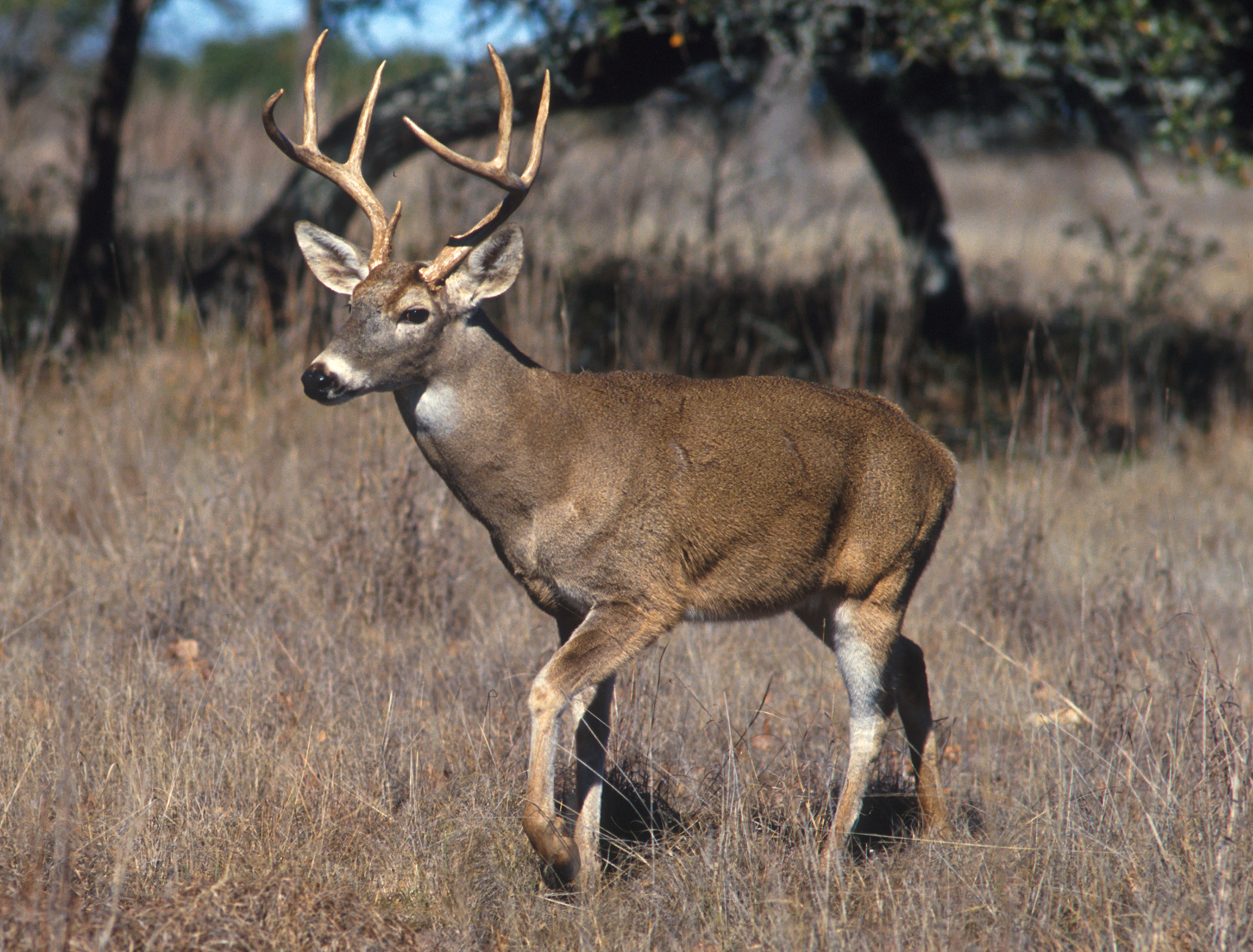 Whitetail Deer (Set) · Hunting America (Group) .
