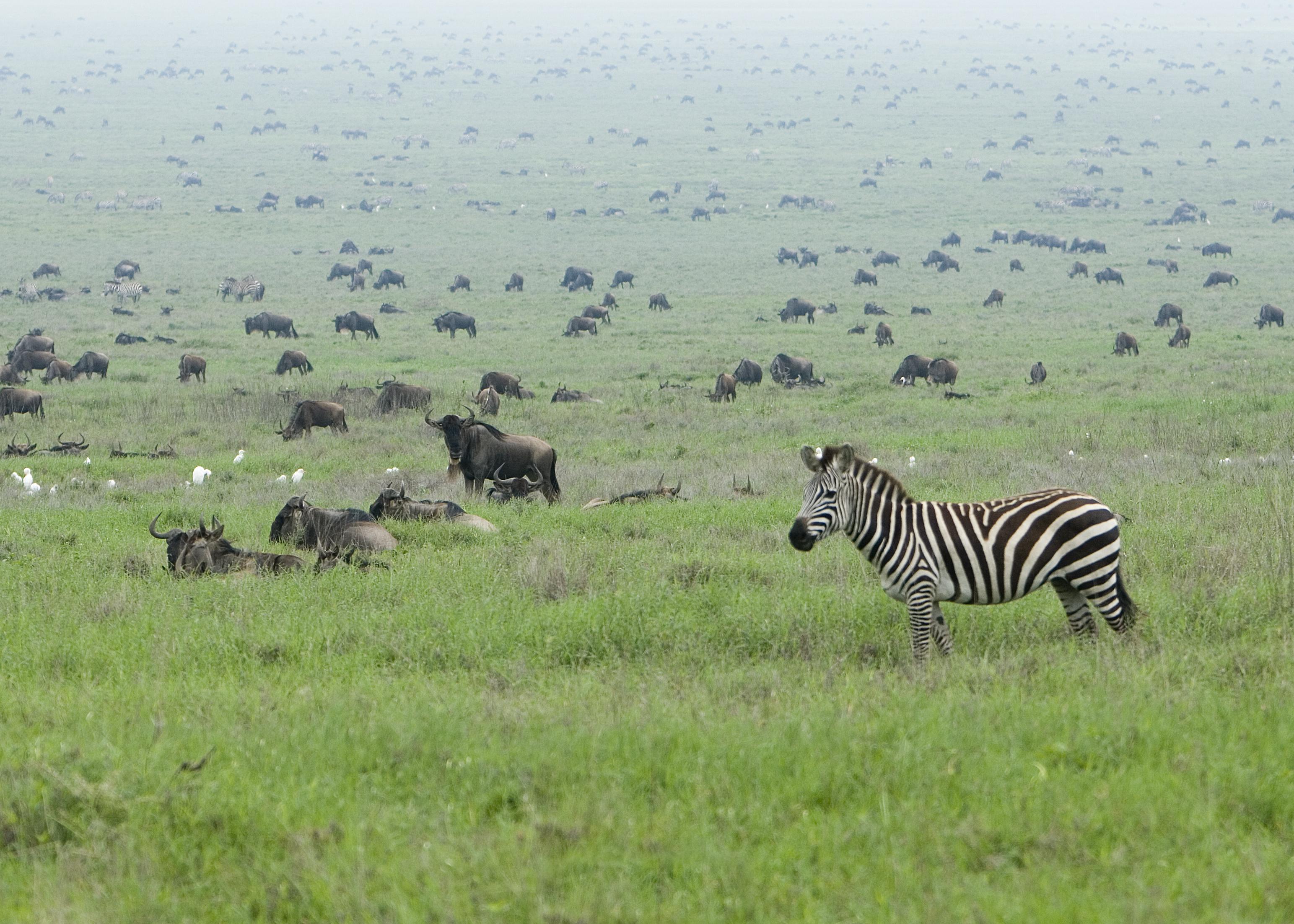 Серенгети Zebra_in_the_Serengeti_Wildebeest_Migration