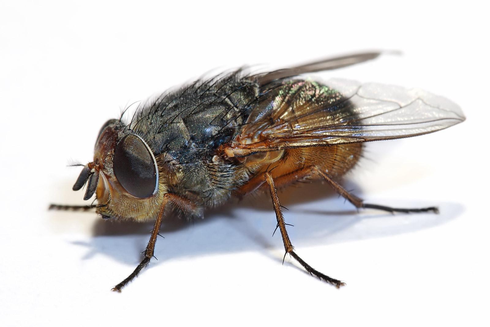 муха фото на белом фоне